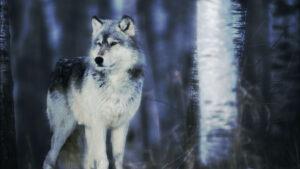 storie di lupi 786740990